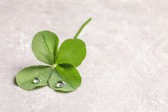 Green four-leaf clover on light background. With space for text royalty free stock photos