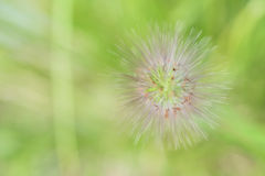 Green fox tail grass Royalty Free Stock Photography