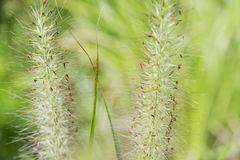 Green fox tail grass Stock Photography