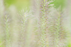 Green fox tail grass Royalty Free Stock Photo