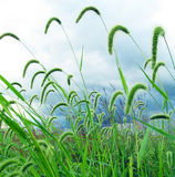 Green foxtail on a blue sky Royalty Free Stock Image