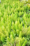 Green foxtail fern Royalty Free Stock Images