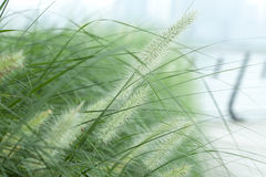 Green foxtail  grass Stock Image