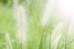 Green foxtail  grass Royalty Free Stock Images