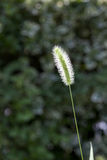 Green foxtail  grass Royalty Free Stock Photo