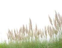 Green foxtail  grass Stock Photography