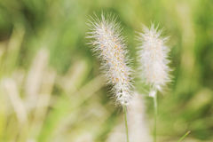 Green foxtail  grass Royalty Free Stock Photos
