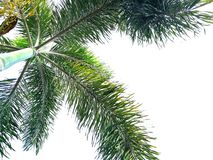 Green foxtail palm tree isolated on white background royalty free stock photography