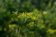 Green fragrant dill in the summer garden Stock Photo