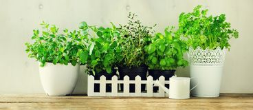 Green fresh aromatic herbs - melissa, mint, thyme, basil, parsley in pots, watering can on white and wooden background. Banner. Aromatic spices, herbs, plants royalty free stock photos