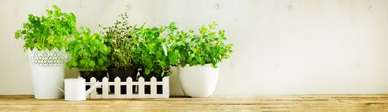 Green fresh aromatic herbs - melissa, mint, thyme, basil, parsley in pots, watering can on white and wooden background. Banner. Aromatic spices, herbs, plants stock images