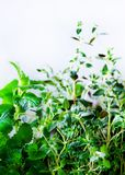 Green fresh aromatic herbs - melissa, mint, thyme, basil, parsley on white background. Banner collage frame from plants Stock Photos