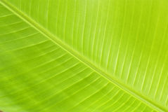 Green Fresh Banana Leaf Stock Photos