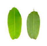 Green fresh banana leaf Stock Photography