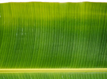 Green Fresh Banana leaf after rain, use for background or wallpa. Pers, Isolated Stock Images