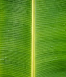 Green Fresh Banana leaf after rain, use for background. Or wallpapers Royalty Free Stock Photos