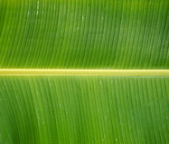 Green Fresh Banana leaf after rain, use for background. Or wallpapers Stock Photography