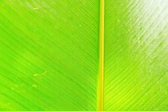 Green fresh banana leaf texture. Royalty Free Stock Photo