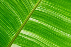 Green fresh banana leaf textured and backrounds Stock Photo