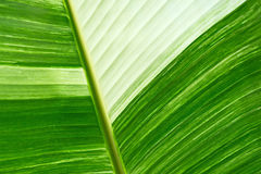Green fresh banana leaf textured and backrounds Royalty Free Stock Photo