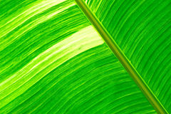 Green fresh banana leaf textured and backrounds Stock Image