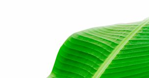 Green fresh banana leaf wavy structure macro photo with visible leaf veins and grooves as a natural texture green background. Frame border and empty negative Royalty Free Stock Photos