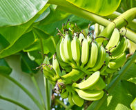 Green fresh Banana on tree and life Royalty Free Stock Images