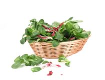 Green fresh basil in basket. Royalty Free Stock Images