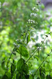 Green fresh basil with flower Royalty Free Stock Images