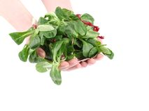 Green fresh basil in hands. Stock Image