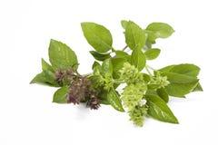 Green fresh basil isolated Stock Photo