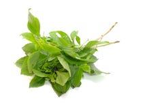 Green fresh basil leaves Stock Photo