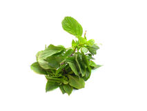 Green fresh basil leaves Royalty Free Stock Images