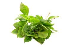 Green fresh basil leaves Stock Images