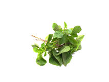 Green fresh basil leaves Royalty Free Stock Image