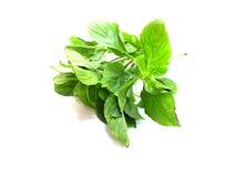 Green fresh basil leaves Stock Image