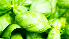 Green fresh basil leaves. In the kitchen Stock Images