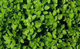 Green fresh basil leaves natural background pattern stock image