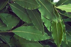 Green and fresh bay leaf. The Bay leaf is a popular seasoning in cooking and a means of folk medicine. Green and fresh bay leaf. The Bay leaf is a popular Stock Photo