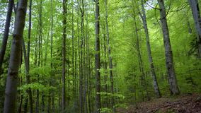 Green fresh beech forest in spring season. Young trees in the forest. Green leaves on branches of trees. Beautiful mountain forest. Steadicam Shot inside the stock video footage