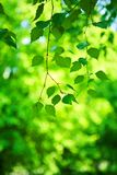 Green fresh branch of birch tree Royalty Free Stock Photos