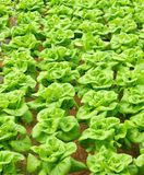 Green fresh butter-lettuce. Rows of green fresh butter-lettuce align in a organic farm Royalty Free Stock Images
