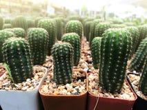 Green fresh cactus farm ; Nature cactus stock photo