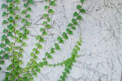 Green fresh climbing plant on rustic white concrete wall royalty free stock photography
