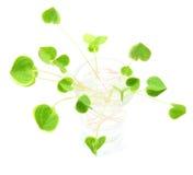 Green fresh clover Royalty Free Stock Photos