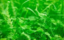 Green, fresh clover Royalty Free Stock Photos