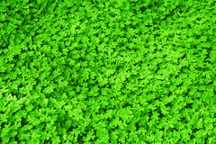 Green fresh clover field Stock Photo