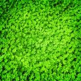 Green fresh clover field Stock Photos