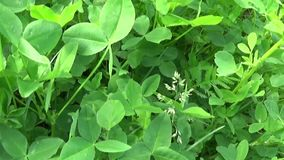 Green fresh clover leafs HD video footage motion camera shooting HD video. Panorama. Green fresh clover leafs HD video footage motion camera shooting HD video stock video footage
