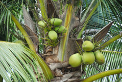 Green fresh coconuts fruit on the coconut tree Royalty Free Stock Photo